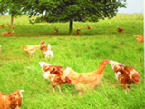 avicultura-Reglas-de-oro-para-el-manejo-de-la-gallina-campera-Jesus-Ciria-La-Canada-Soriana