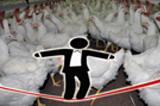 avicultura-riesgos-de-las-granjas-multiedad-como-prevenirlos-Pedro-Gil-consultor-avicola