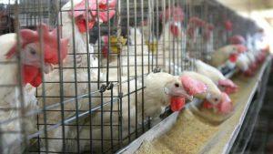 jaulas-gallinas-ponedoras