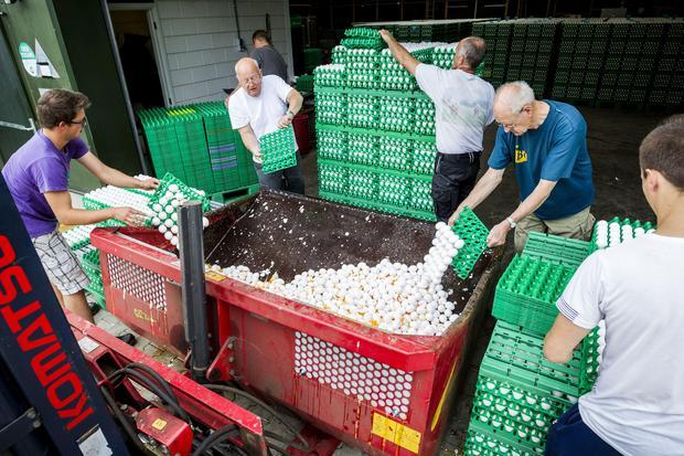 """Avicultores holandeses destruyen huevos en una granja avícola en Onstwedde, Países Bajos, el 3 de agosto de 2017, después de que la Autoridad Holandesa de Alimentos y Bienestar (NVWA) destacó la contaminación de los huevos por el fipronil, un insecticida tóxico prohibido en la producción de alimentos. Funcionarios holandeses dijeron el 3 de agosto de 2017 que cerca de 180 granjas avícolas habían sido cerradas en Holanda después de que el fipronil fue encontrado en muestras tomadas de huevos, excrementos y carne. En grandes cantidades, el fipronil es considerado """"moderadamente peligroso"""" según la Organización Mundial de la Salud, y puede tener efectos peligrosos en los riñones de las personas, el hígado y las glándulas tiroides. El insecticida, fabricado por la alemana BASF, entre otras compañías, se utiliza comúnmente en productos veterinarios para deshacerse de las pulgas, los piojos y las garrapatas. / AFP PHOTO / ANP / Patrick HUISMAN / Países Bajos (Crédito de la foto debería leer PATRICK HUISMAN / AFP / Getty Images)"""