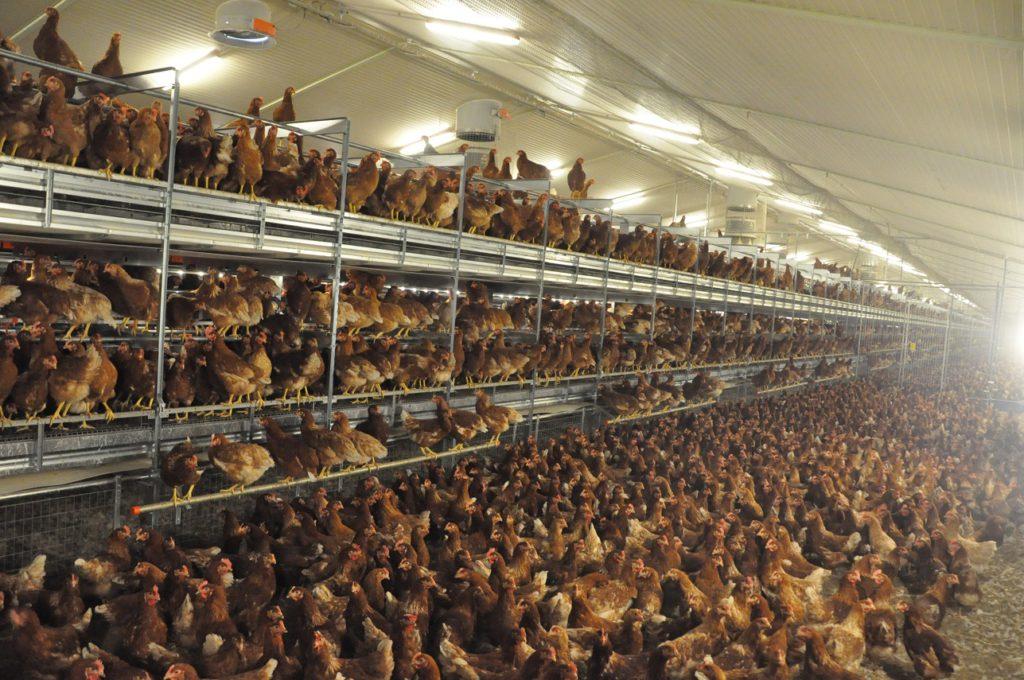 Nave para 30.000 gallinas ponedoras en aviario con salida a parque. El modelo es el Natura Nova twin de Big Dutchman.
