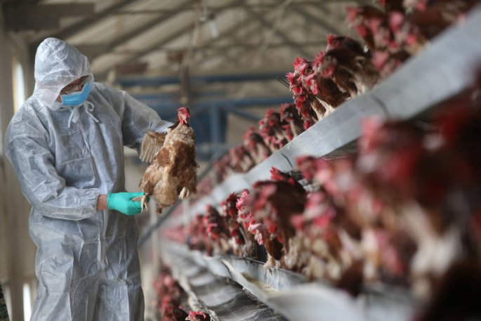 A quarantine researcher checks on a chicken at a poultry farm in Xiangyang, Hubei province, China, February 3, 2017. Picture taken February 3, 2017. REUTERS/Stringer ATTENTION EDITORS - THIS IMAGE WAS PROVIDED BY A THIRD PARTY. EDITORIAL USE ONLY. CHINA OUT.