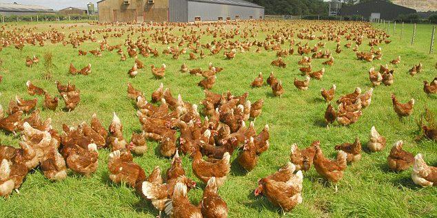 """Un avicultor británico condenado a prisión por afirmar falsamente que sus huevos procedían de gallinas """"free-range"""" o al aire libre. - Avicultura"""