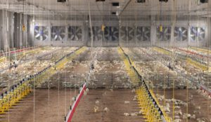 Explotación de pollos de carne
