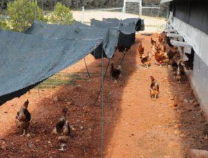 Explotación de gallinas ponedoras al aire libre
