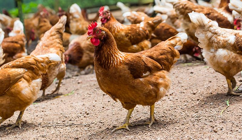 avicultura-de-traspatio
