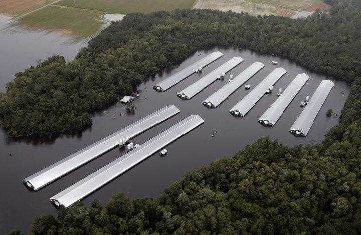 Granjas de pollos inundadas tras el paso del huracán Florence en Carolina del Norte, EEUU (16 sept 2018, AP Photo/Steve Helber)