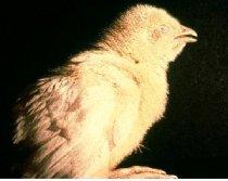 Pollito mostrando signos respiratorios