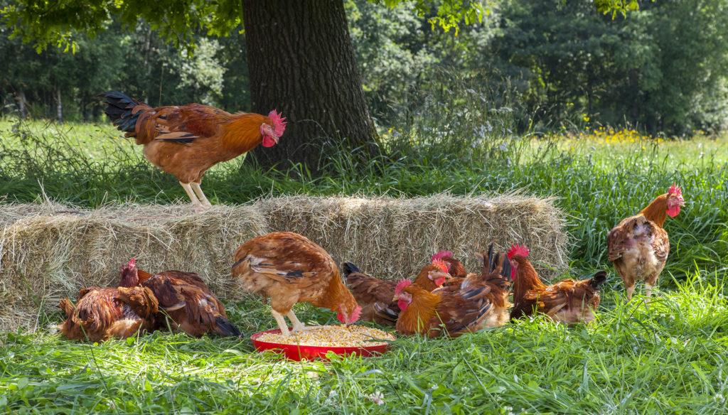 coren-pollos
