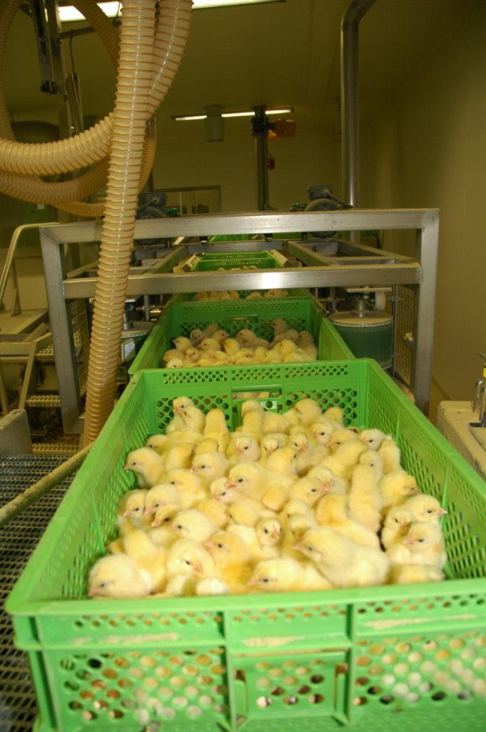 pollitos-recien-naciodos-en-planta-incubacion